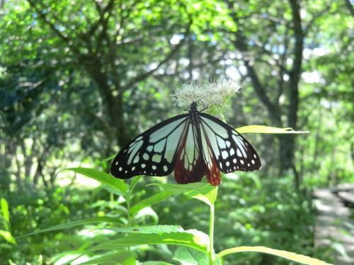 ヨツバヒヨドリ(花)が大好きなアサギマダラ(蝶)(写真)。実はこの小さな蝶(アサギマダラ)は日本列島を縦断し、南の沖縄や台湾まで延べ2000Km以上を飛んでいくという。そして、翌年春には、その逆のコースを通って八ヶ岳や蓼科の高原にやってくる。驚異のストーリーを知るといとおしくなる。