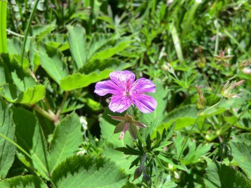 「アサマフウロウ」(写真)は鎌ケ池周辺で見られる。よく似た花に「ハクサンフウロウ」がある。<br />