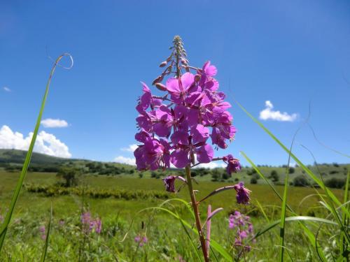 「ヤナギラン」(写真)は夏の終わり八島湿原の多くの場所で咲く。<br />