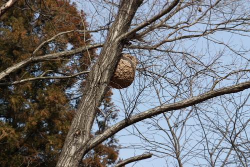 巨大な蜂の巣もあります。(^_^;