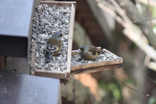 カワラヒワ<br /><br />留鳥または漂鳥として九州以北に分布