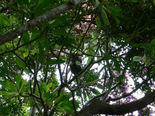 わかるかな〜。写真の真ん中にポテチを抱えた猿が1匹。<br /><br />ケーブルカーで乗り合わせた家族のとおさんははなから猿に餌付けをするつもりだったらしく、猿を見かけたらいきなりコンビニの袋の中からポテチを出しました。<br /><br />そしたら、10メートルほど離れた場所にいた猿がめざとくだだだーーっと走りより、ポテチを奪うとあっという間に木の上に駆け上ったのです。<br /><br />ほんで、誰にもじゃまされない場所に着いたところで器用にポテチをあけ、むしゃむしゃと食べ始めました。いやー、驚いた。<br /><br />人間と同じようにビニールパッケージをあけられるんですよ〜。<br /><br />ちなみにこのとうさんは違う猿にペットボトルの水もあげたんだけど、ペットボトルのキャップをあけたあと、ボトルの中身を地面にぶちまけてからぺろぺろと舐めはじめました。<br /><br />ただし一口舐めたところで「なんだ水かよ〜」って顔して走り去ったのです。<br />コーラとかジュースを期待してたんだろか。<br />