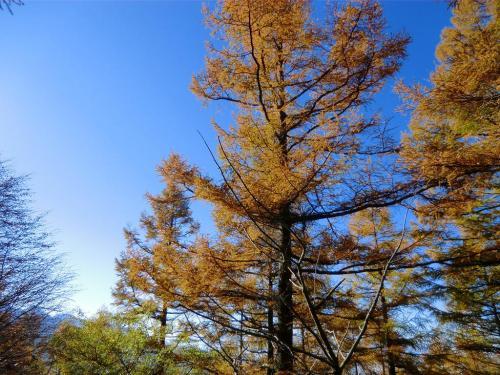 カラマツが朝日に当たり黄金色(写真)に輝いている。今日はどこを見ても綺麗に見える。感受性が増してきたのか?本当に美しいのか?