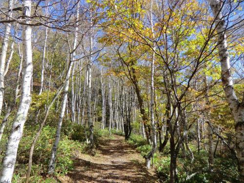 体調がいい時は、ここから左手の山に入る。しばらく登ると白樺の美しい森(写真)になり、新緑、紅葉の時期はとても良い。<br />