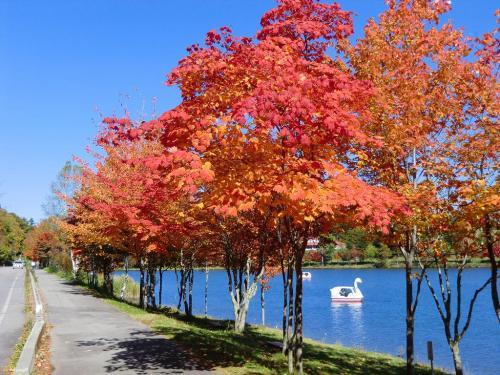 真っ赤に染まったカエデ(写真)、女神湖畔の紅葉を楽しみながら歩く。<br />