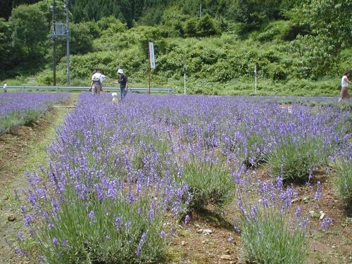 少し来る時期は遅かったんですが、まだ綺麗に咲いていました。<br />これはラベンダーの花畑から道路を向いて撮った写真です。すぐ横を車が走っています。<br />せせらぎ街道を車で走っていると、だんだんラベンダーの甘い香りが漂ってきて、鮮やかな色に染まったラベンダー園が道沿いに姿を現します。