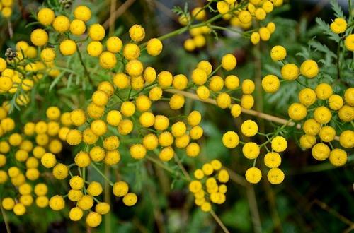 ほんの指先位のぼんぼりをたくさんまとった秋の草。<br /><br />その小さい黄色い点々も、たくさん集まると周りがパッと明るくなる。