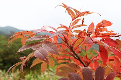 9月なのにナナカマドがもう紅葉しています。