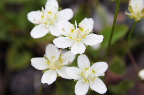 チングルマと思いたいですが、時期的にたぶん違う花でしょう。けどかわいらしい花です。