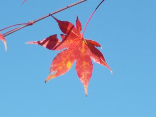 雲ひとつない晴天の空に、もみじの「少し黄色の残る赤」が、光にすかされて、すっごく綺麗。  でも、この写真どこでも撮れるよね!!!!