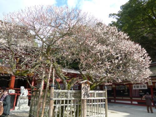 京の都から道真さまをしたって飛んできたという飛び梅。<br />見ごろはもうちょっと先。