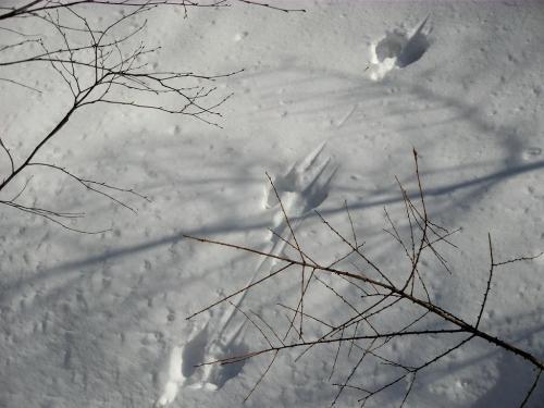 雪面には動物の足跡が沢山残っている。これはキツネの足跡(写真)らしい。<br />