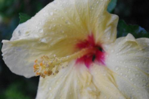 ハイビスカスも雨後で<br />より美しく