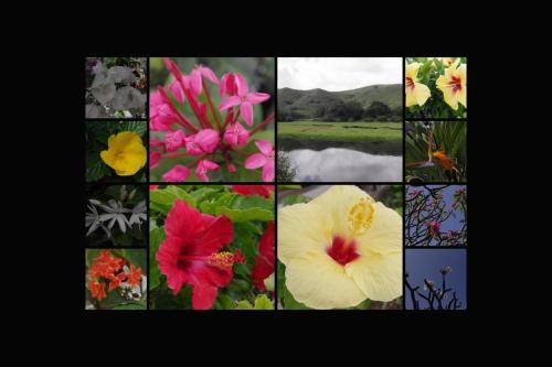 散歩中に<br />カイルアタウン<br />で<br />見かけた花々