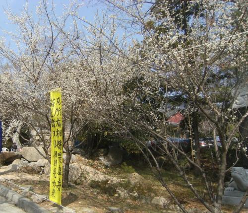 山寺は梅が花盛り