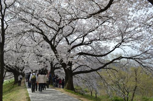 堤防の両側に桜の木が。