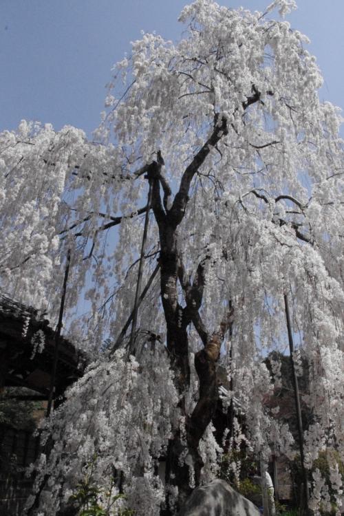 見上げる<br />降り注ぐ小糸枝垂れ桜