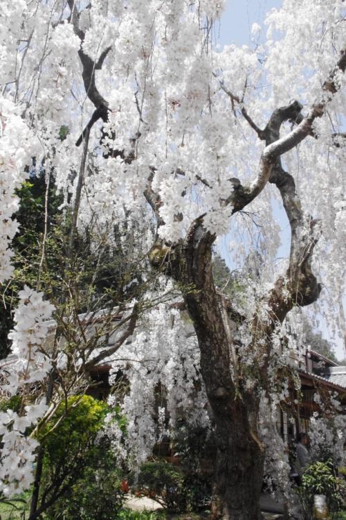 本堂前にも見事な小糸枝垂れ桜