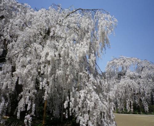 小糸枝垂れ桜<br />花見客が一瞬途切れた隙を狙って<br />二本並ぶ壮観な姿を写す