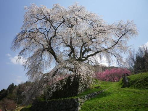 本郷の瀧桜(又兵衛桜)<br /><br />樹齢300年<br />幹周り 約3m<br />高さ 約13m