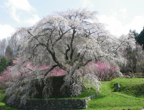 戦国武将として活躍した後藤又兵衛が<br />この地へ落ちのび<br />僧侶となり一生を終えたと言う伝説があり<br />この枝垂れ桜が残る地も後藤家の屋敷跡であることから<br />地元では「又兵衛桜」と呼ばれている<br />とのこと