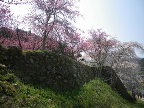 又兵衛桜を中心に<br />ぐるりと一周