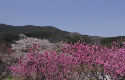 又兵衛桜の裏手には<br />桃の花
