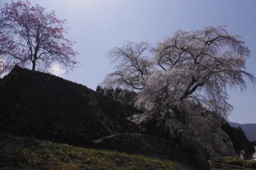 石垣に降り注ぐように咲く<br />瀧桜(又兵衛桜)
