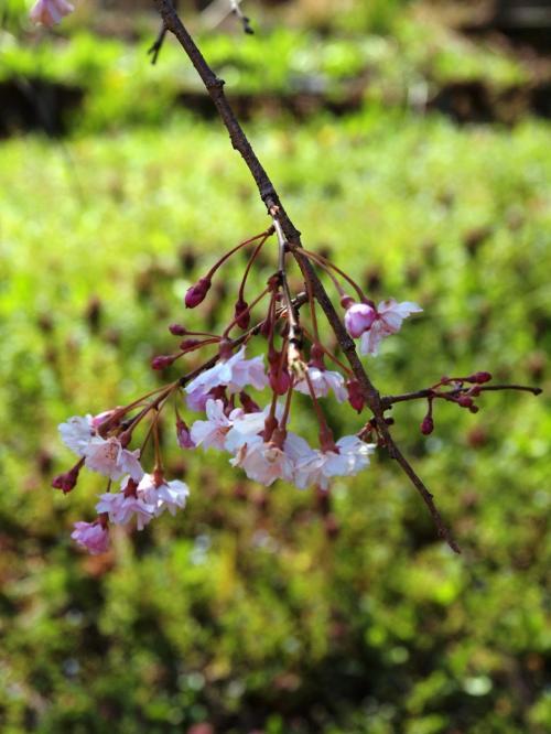 広い広い敷地の中にはいろんな植物が植えられている。<br /><br />この花はなんだろ?<br /><br />ピンクの花が春を感じる。