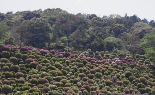蹴上浄水場の山の斜面に広がる約4600本の躑躅<br />山の斜面上層は車窓からも眺められるが<br />一般公開で大勢の人が訪れる<br />
