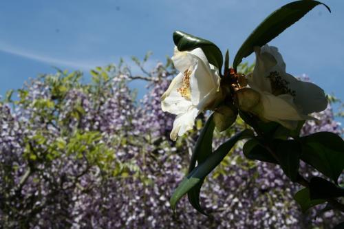 藤をバックに白い椿