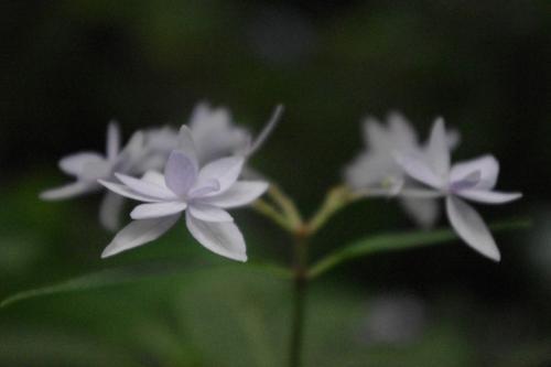 三千院では星紫陽花<br />と言われているようです。