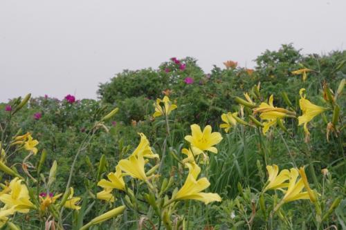 レモンイエローの<br />エゾキスゲが沢山咲いて