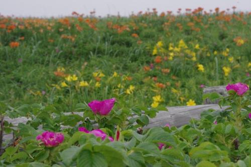 エゾスカシユリ<br />エゾキスゲ<br />ハマナス<br />が咲き競う<br />小清水原生花園