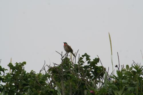 遊歩道を歩いていると<br />ノゴマでしょうか (夫撮影)<br />野鳥の声が響きます。