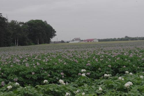 6月から7月に掛けて<br />ジャガイモの花畑が広がる光景は圧巻<br />