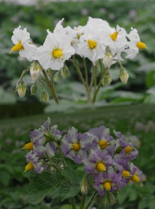ジャガイモの花<br /><br />品種により<br />白色は男爵<br />紫色はメークイン