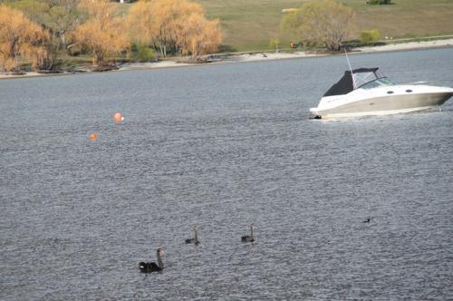 空港から街に向かう途中の湖<br />ブラックスワン発見