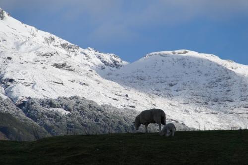 雪山と羊の親子