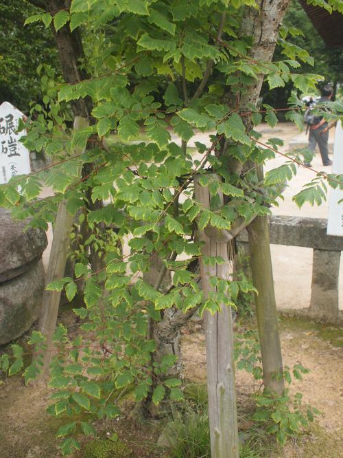 菅原道真を扱った謡曲『道明寺』にも登場するモクゲンジの木。種は数珠として使われ、その数珠で念仏を百万遍唱えれば、極楽往生間違い無しだそうです。