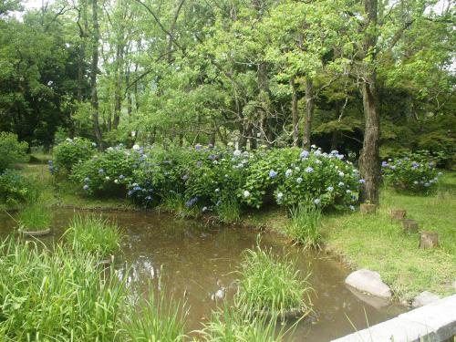 境内の池に咲くあじさい。