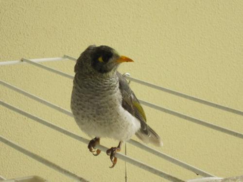 こちらはインディアン・マイナ。<br />時々遊びにくるようだ。<br /><br />この鳥は、オーストラリア全土に生息するムクドリ科で<br />スズメの様に生活の中に自然にいる。