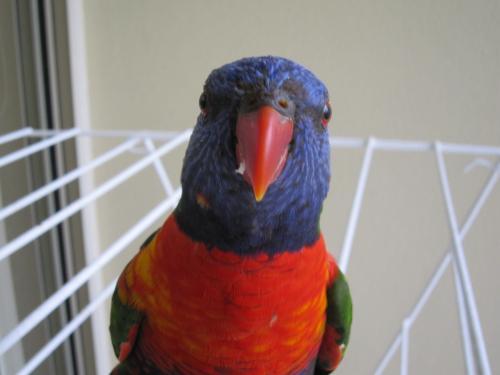カメラ目線の正面顔。<br />ペットショップにいそうな鳥が普通にいるのが不思議。