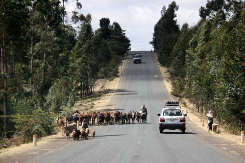 牛が自由に道路を闊歩している。牛も慣れたもので車が来ても避けようとしない。