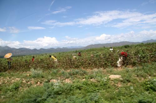 綿花の摘み取り作業