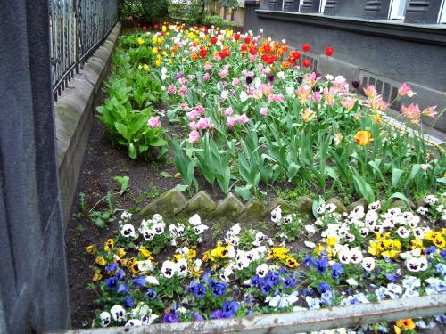 アパート近くの邸宅のお庭です。<br /><br />この時期チューリップが満開で、ここを通るたびに目を楽しませてくれました。<br />