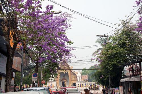 「ワットプラシン」へ向かう途中に見かけた紫色の花、ジャカランダでしょうか?<br /><br />一度、南アのプレトリアに咲くジャカランダを見てみたいなかと思ってますが、なかなか行けないですね。
