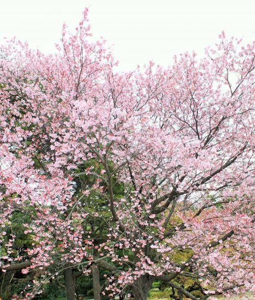 早咲きの桜でお花見。<br />