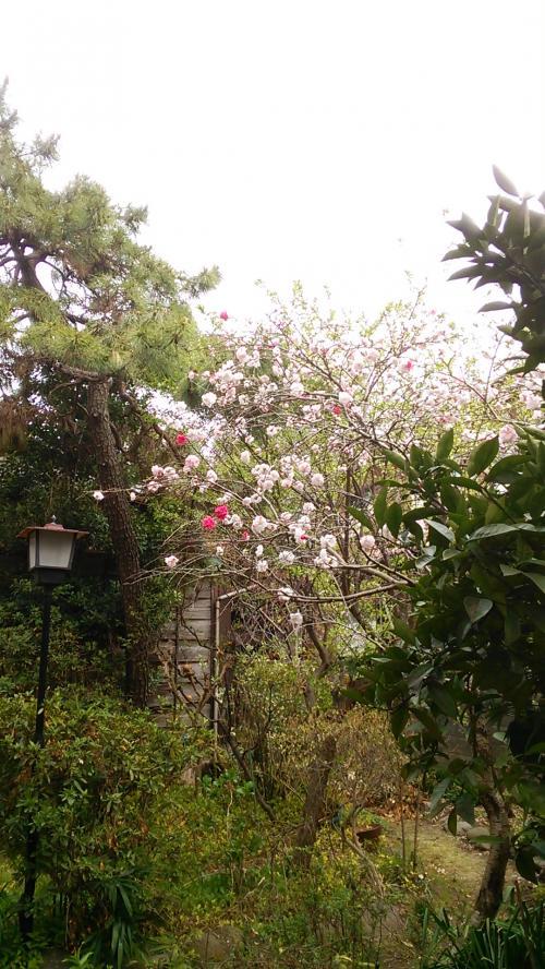 参道に隣接する個人宅の紅白の花