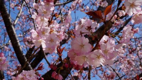 山桜は色々な種類があります。<br />この公園にも何種類もの桜が咲いていました。<br />こちらは、濃い目のピンクの桜<br />